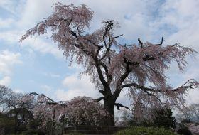 hoogtepunten japan reis sakura iki Travels
