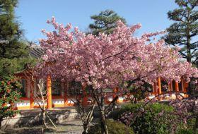 Japan Kyoto kersenbloesem tuin