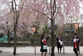 sakura lentebloesem reis Japan kanazawa iki Travels
