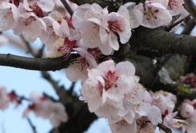 sakura lentebloesem reis Japan miyajima iki Travels