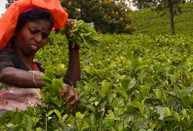 reis Sri Lanka totaal theeplantages iki Travels