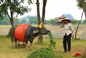 Puur Vietnam reis Ninh Binh waterbuffel