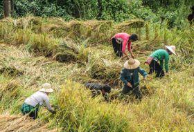 Vietnam fotografiereis Sapa rijst oogsten