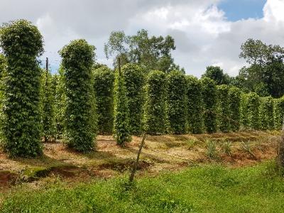 Vietnam Phu Quoc peper plantage