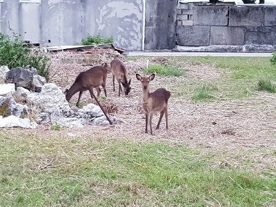 Okinawa Aka Hertjes