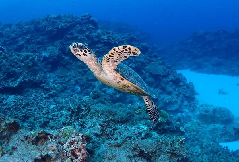 Duikexcursie Okinawa Zeeschildpadden