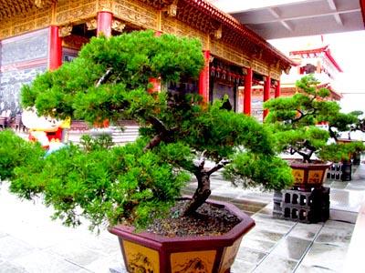 Taiwan Bonsai